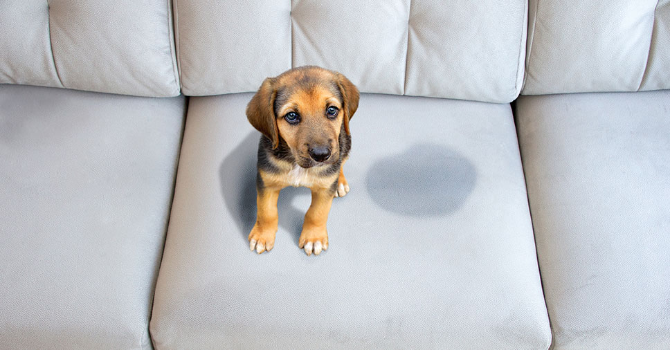 Seu cachorro fez xixi no sofá? Veja como eliminar manchas e cheiro!